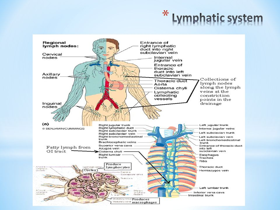Along the network of lymph vessels are small organs called lymph nodes.