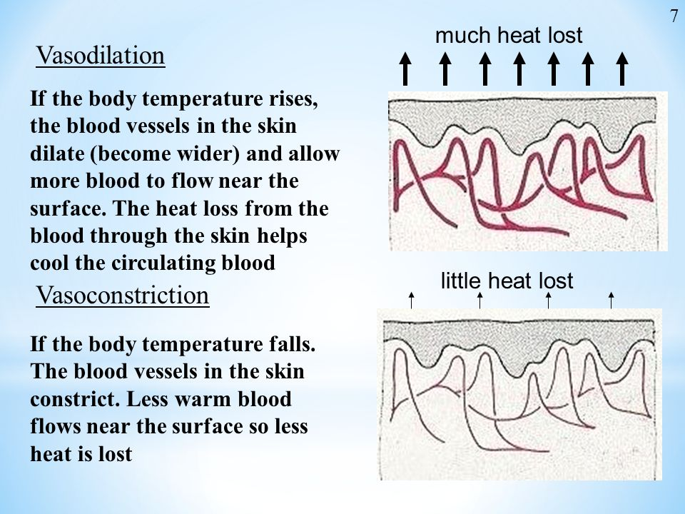 much heat lost Vasodilation If the body temperature rises, the blood vessels in the skin dilate (become wider) and allow more blood to flow near the s