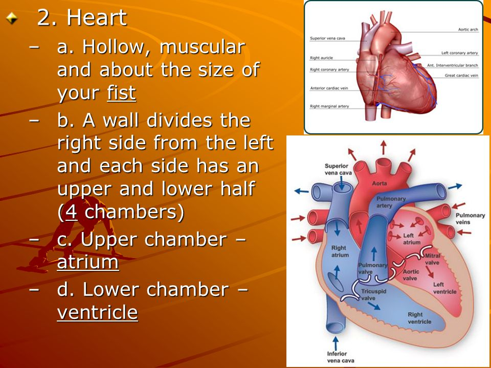 2. Heart –a. Hollow, muscular and about the size of your fist –b. A wall divides the right side from the left and each side has an upper and lower hal