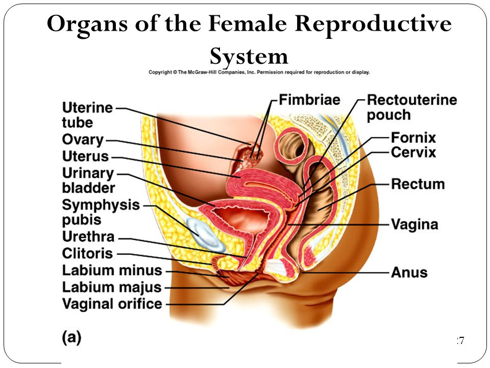 Organs of the Female Reproductive System 22-27