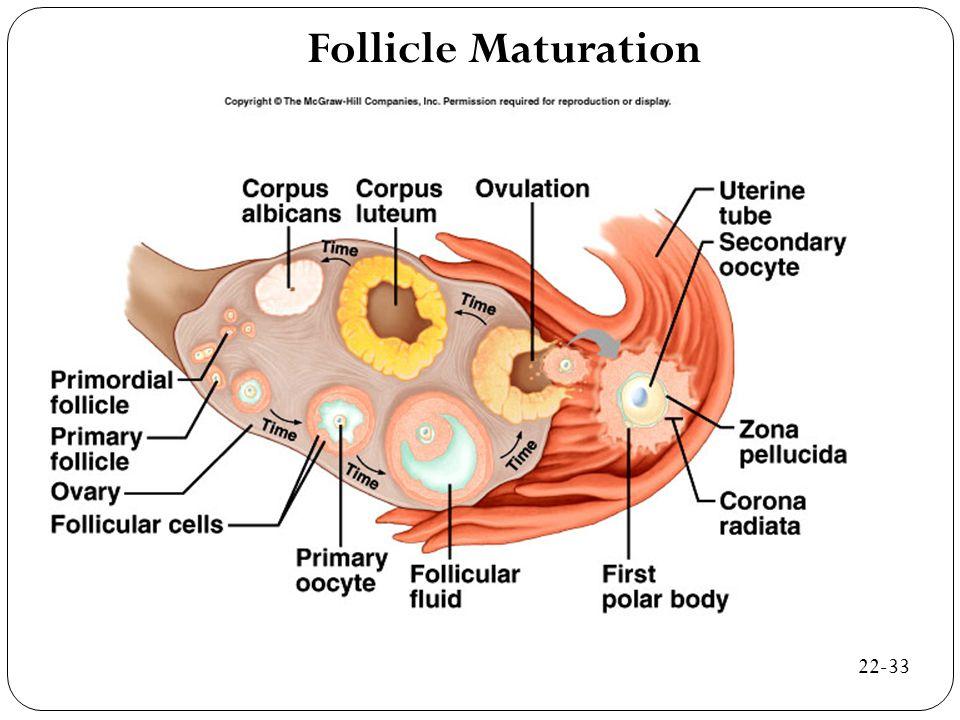 Follicle Maturation 22-33