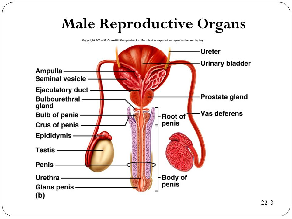 Male Reproductive Organs 22-3