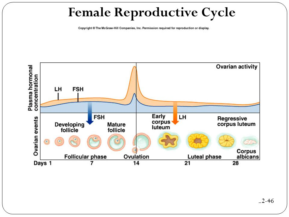 Female Reproductive Cycle 22-46