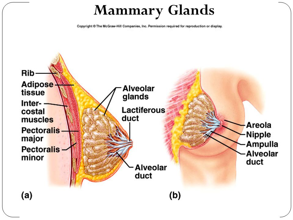Mammary Glands 22-48