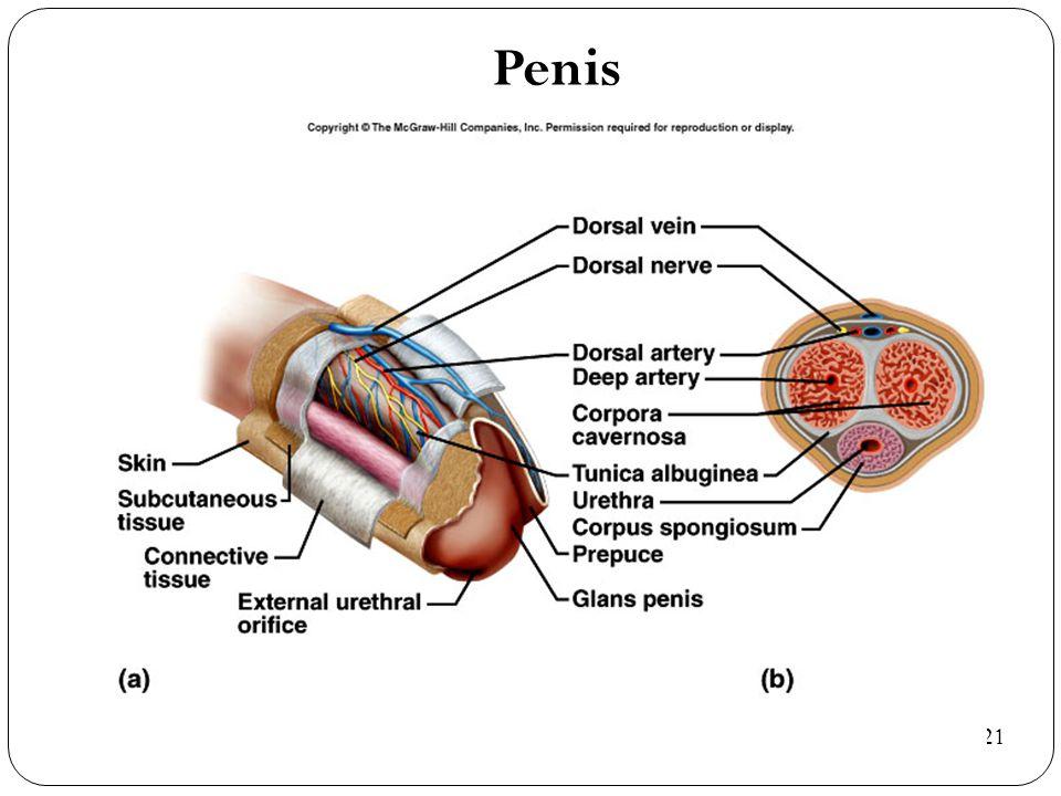 Penis 22-21