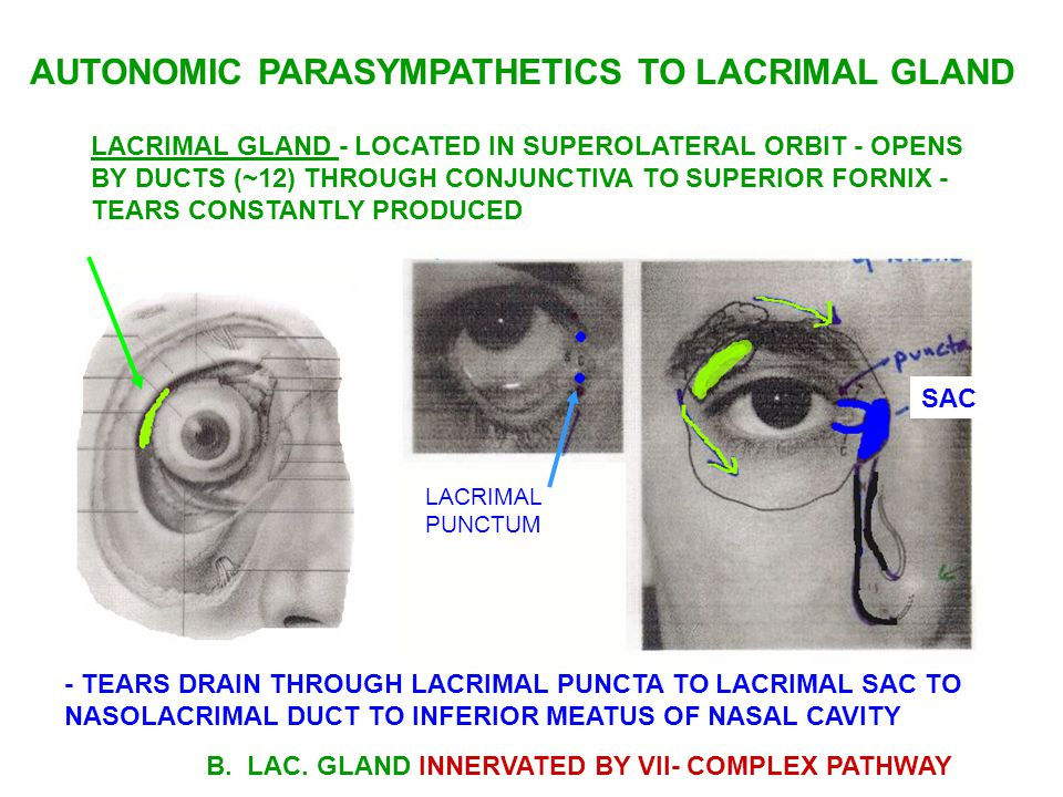 - TEARS DRAIN THROUGH LACRIMAL PUNCTA TO LACRIMAL SAC TO NASOLACRIMAL DUCT TO INFERIOR MEATUS OF NASAL CAVITY B.
