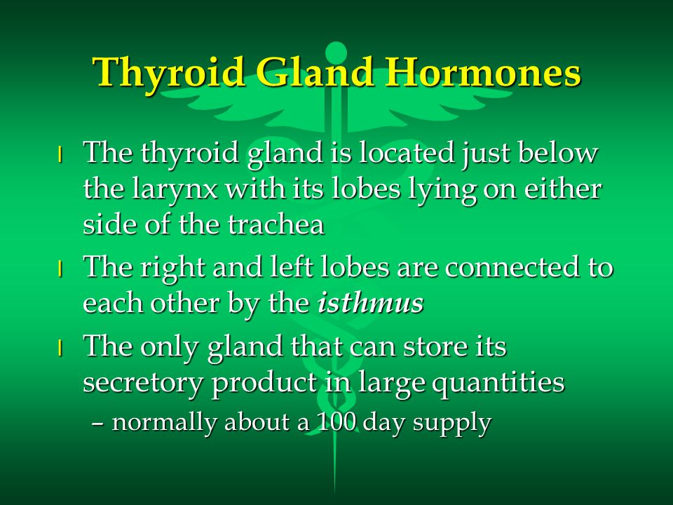 Thyroid Gland Hormones l The thyroid gland is located just below the larynx with its lobes lying on either side of the trachea l The right and left lobes are connected to each other by the isthmus l The only gland that can store its secretory product in large quantities –normally about a 100 day supply