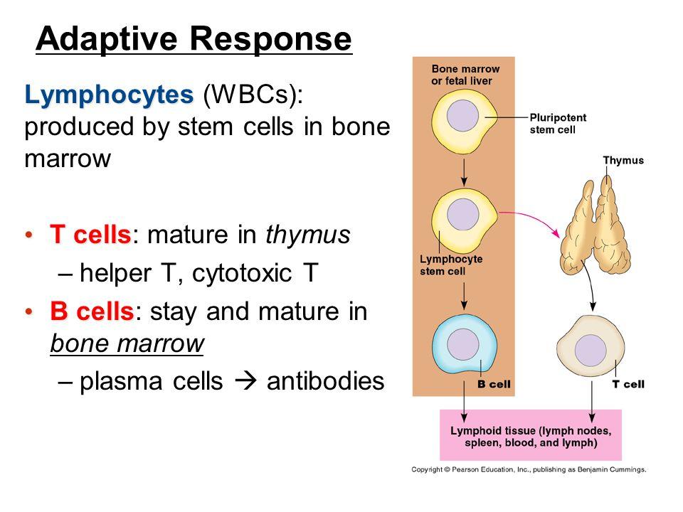 Adaptive Response Lymphocytes Lymphocytes (WBCs): produced by stem cells in bone marrow T cells T cells: mature in thymus –helper T, cytotoxic T B cel