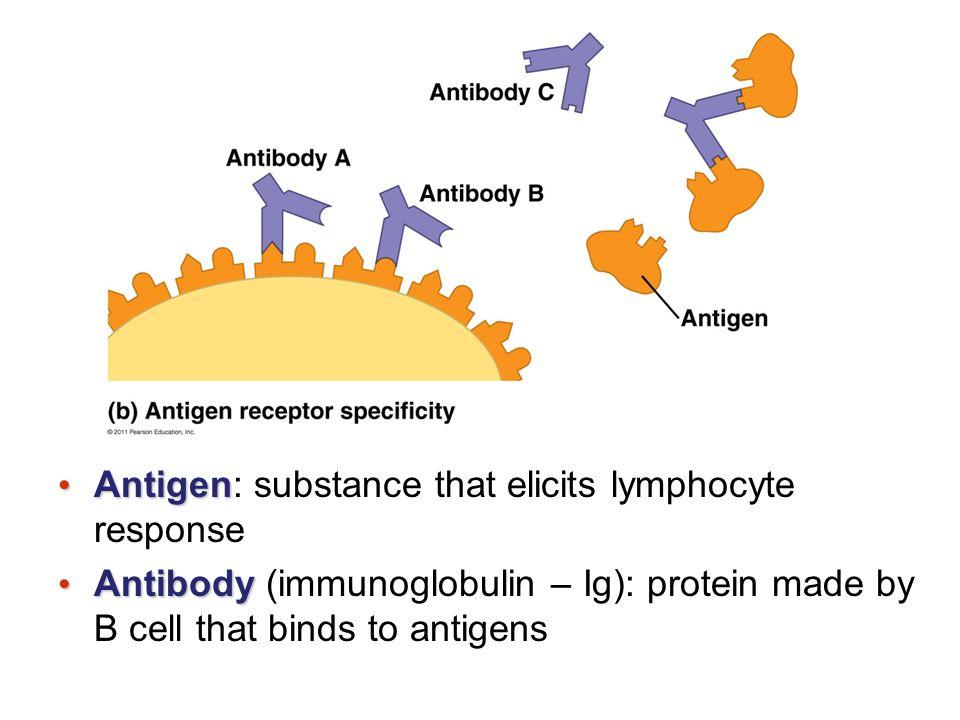 Antigen Antigen: substance that elicits lymphocyte response Antibody Antibody (immunoglobulin – Ig): protein made by B cell that binds to antigens