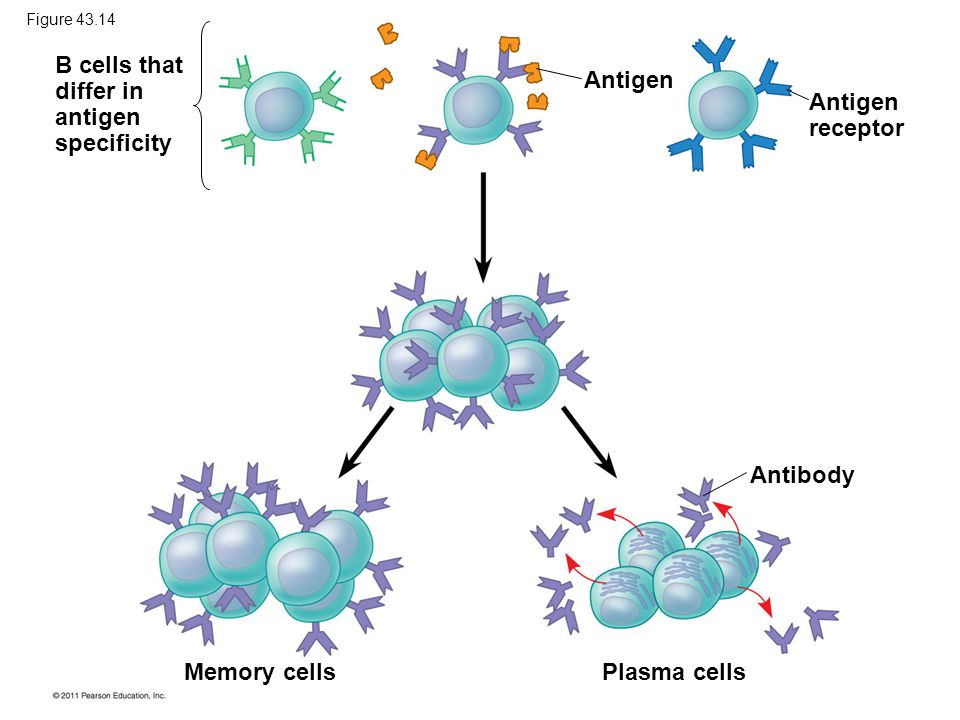Antigen Antigen receptor Antibody Plasma cells Memory cells B cells that differ in antigen specificity Figure 43.14