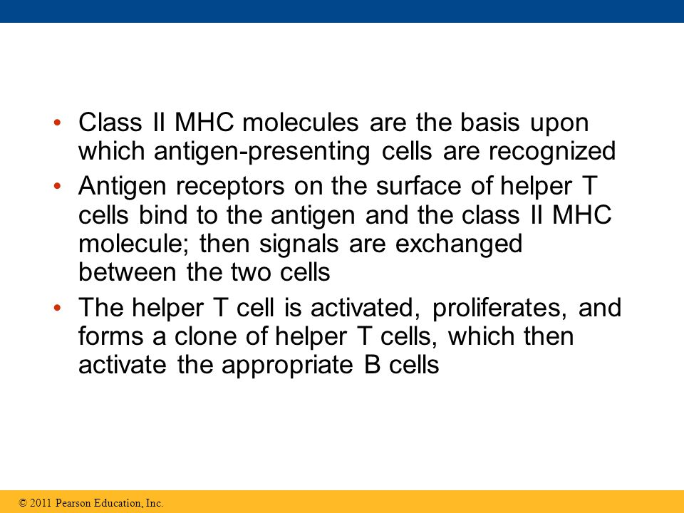 Class II MHC molecules are the basis upon which antigen-presenting cells are recognized Antigen receptors on the surface of helper T cells bind to the