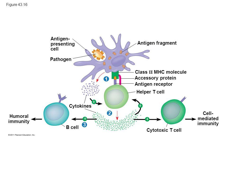 Figure 43.16 Antigen- presenting cell Pathogen Antigen fragment Class II MHC molecule Accessory protein Antigen receptor Helper T cell Cytokines Humor