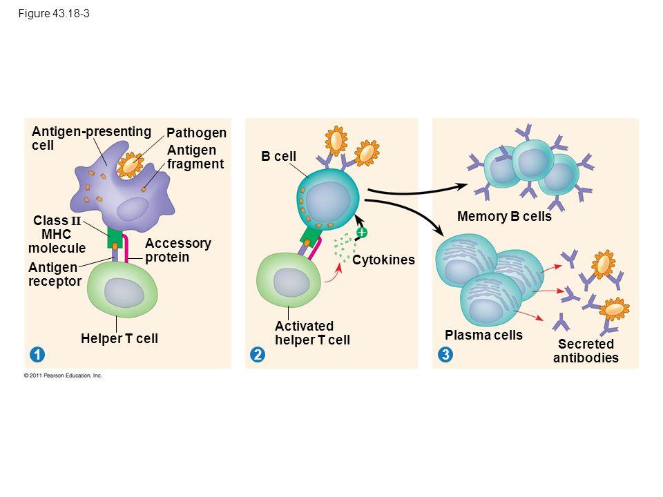 Figure 43.18-3 Pathogen 312 Antigen-presenting cell Antigen fragment Class II MHC molecule Antigen receptor Accessory protein Helper T cell B cell Cyt