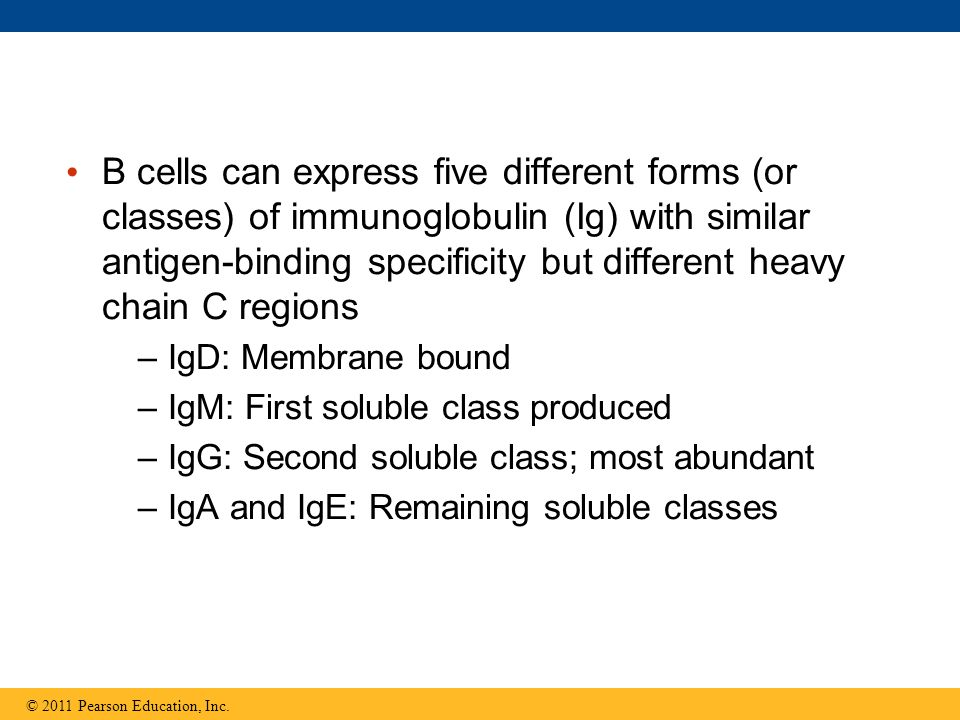 B cells can express five different forms (or classes) of immunoglobulin (Ig) with similar antigen-binding specificity but different heavy chain C regi