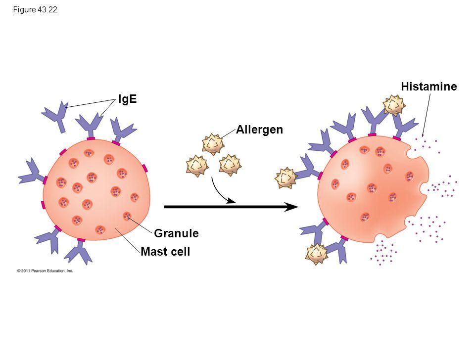 Figure 43.22 IgE Allergen Histamine Granule Mast cell