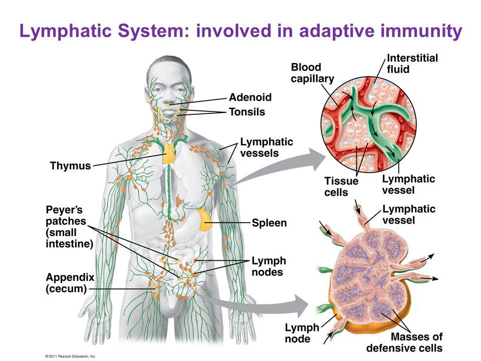 Adaptive Response Lymphocytes Lymphocytes (WBCs): produced by stem cells in bone marrow T cells T cells: mature in thymus –helper T, cytotoxic T B cells B cells: stay and mature in bone marrow –plasma cells  antibodies