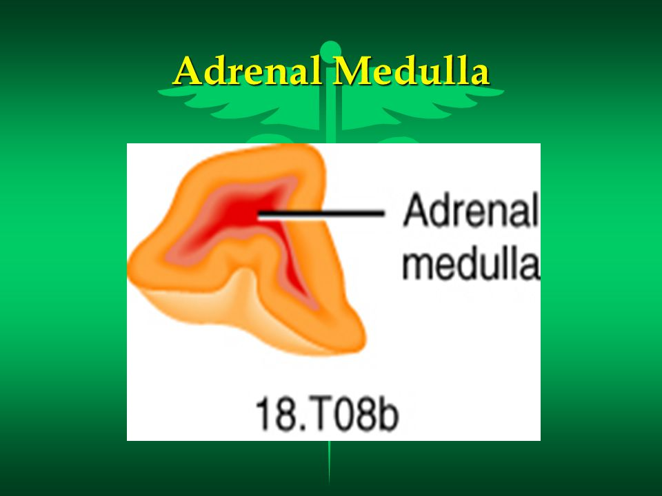 Hormones of the Adrenal Medulla l Epinephrine and Norepinephrine (Adrenaline and Noradrenaline) –Makes up over 80% of the secretions from the adrenal medulla –Responsible for the Fight or Flight response –Helps the body cope with stress