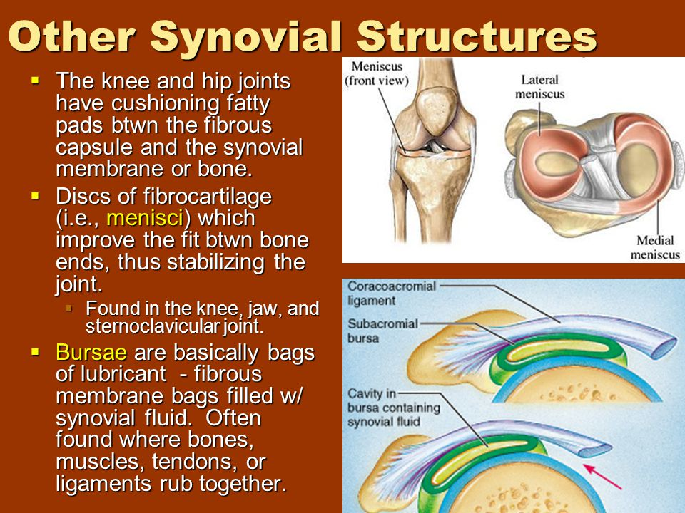 Other Synovial Structures  The knee and hip joints have cushioning fatty pads btwn the fibrous capsule and the synovial membrane or bone.