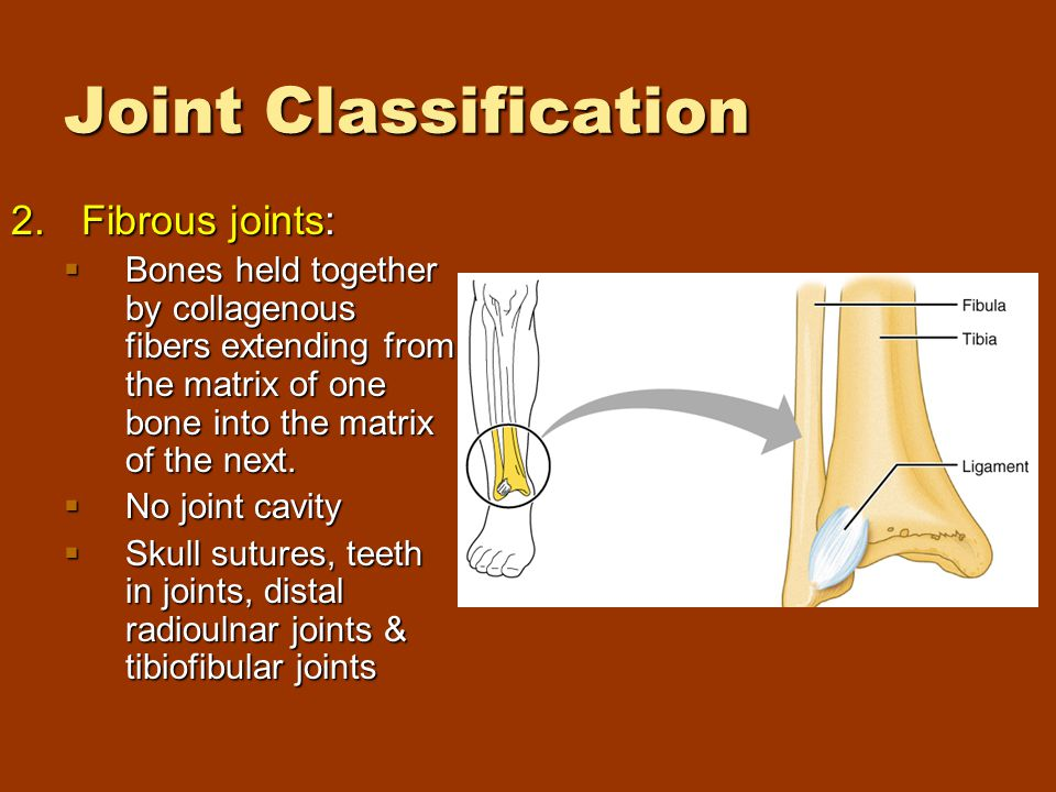 Joint Classification 2.Fibrous joints:  Bones held together by collagenous fibers extending from the matrix of one bone into the matrix of the next.