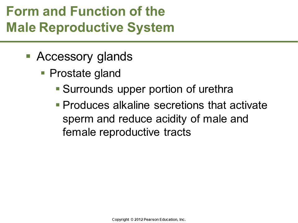 Copyright © 2012 Pearson Education, Inc. Form and Function of the Male Reproductive System  Accessory glands  Prostate gland  Surrounds upper porti