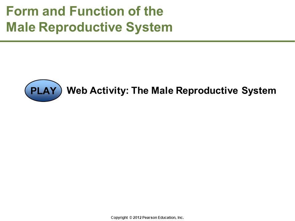 Form and Function of the Male Reproductive System Web Activity: The Male Reproductive System