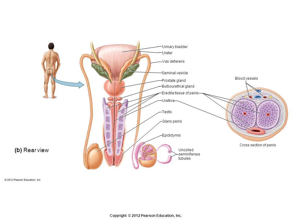 Copyright © 2012 Pearson Education, Inc. (b) Rear view Blood vessels Cross section of penis Urinary bladder Ureter Vas deferens Seminal vesicle Prosta