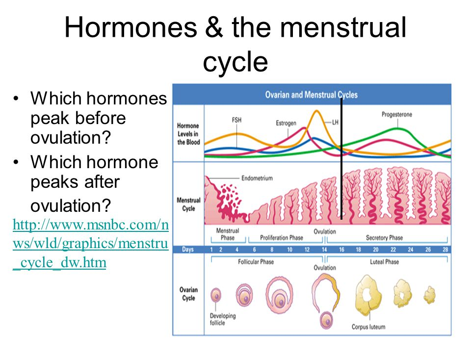 Hormones & the menstrual cycle Which hormones peak before ovulation? Which hormone peaks after ovulation? http://www.msnbc.com/ne ws/wld/graphics/mens