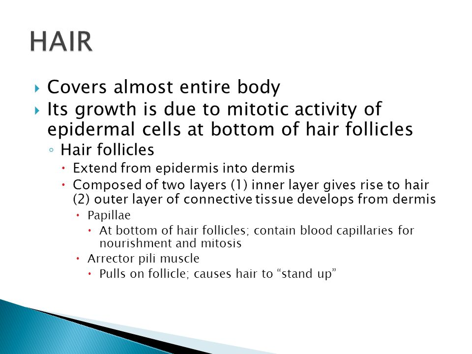  Covers almost entire body  Its growth is due to mitotic activity of epidermal cells at bottom of hair follicles ◦ Hair follicles  Extend from epidermis into dermis  Composed of two layers (1) inner layer gives rise to hair (2) outer layer of connective tissue develops from dermis  Papillae  At bottom of hair follicles; contain blood capillaries for nourishment and mitosis  Arrector pili muscle  Pulls on follicle; causes hair to stand up