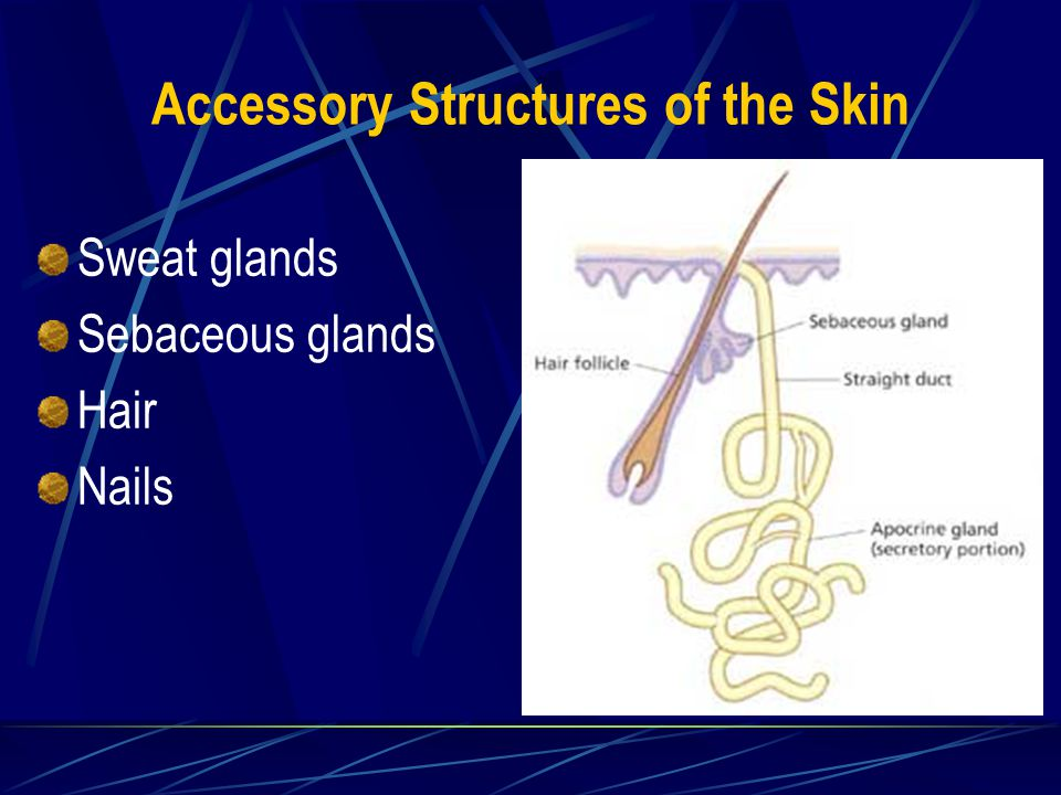 Accessory Structures of the Skin Sweat glands Sebaceous glands Hair Nails