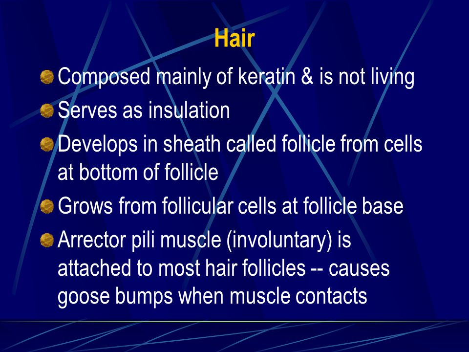 Hair Composed mainly of keratin & is not living Serves as insulation Develops in sheath called follicle from cells at bottom of follicle Grows from follicular cells at follicle base Arrector pili muscle (involuntary) is attached to most hair follicles -- causes goose bumps when muscle contacts