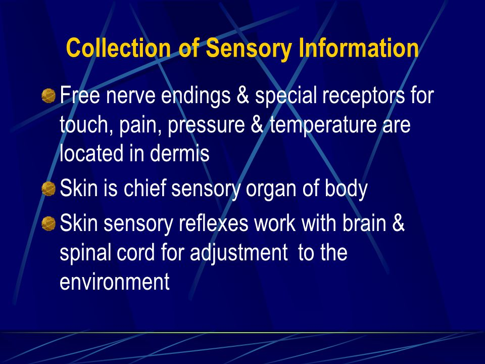 Collection of Sensory Information Free nerve endings & special receptors for touch, pain, pressure & temperature are located in dermis Skin is chief sensory organ of body Skin sensory reflexes work with brain & spinal cord for adjustment to the environment