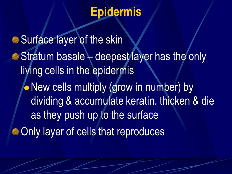Epidermis Surface layer of the skin Stratum basale – deepest layer has the only living cells in the epidermis New cells multiply (grow in number) by dividing & accumulate keratin, thicken & die as they push up to the surface Only layer of cells that reproduces