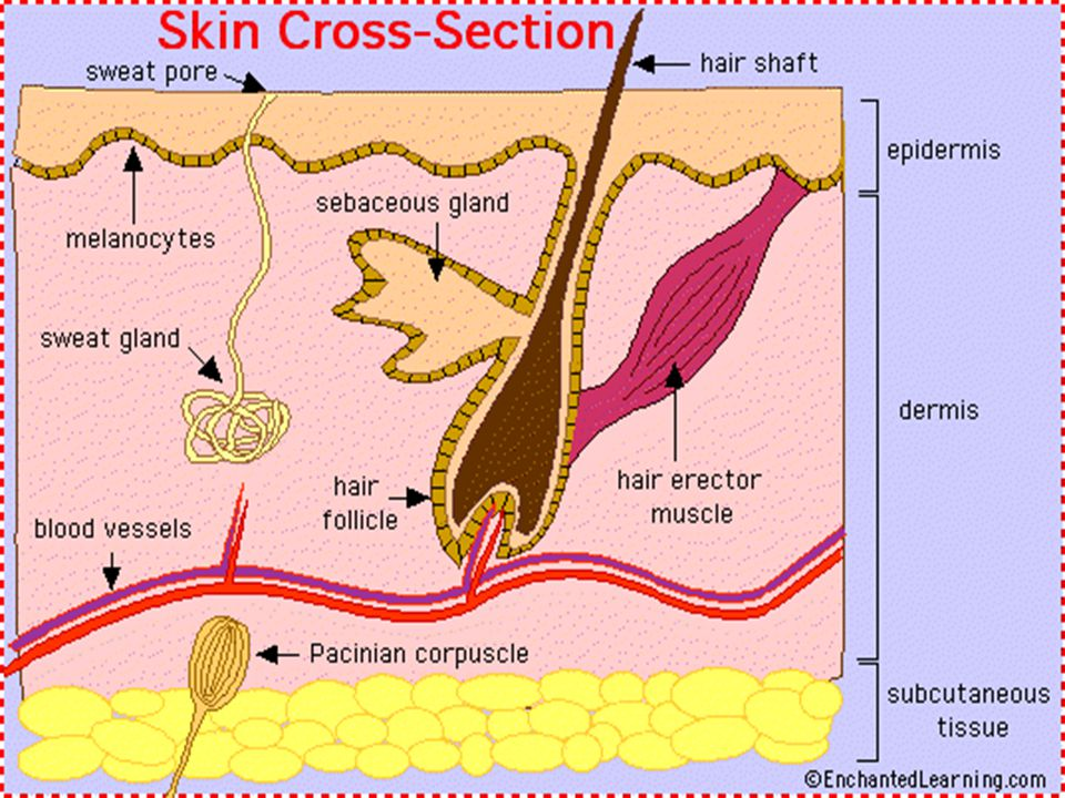 Nails Made of keratin, originate in outer layer of epidermis Produced by epidermal cells at proximal end of nail called nail root Changes in nail signal changes in health status & occur in chronic disease Color, thickness, shape & texture
