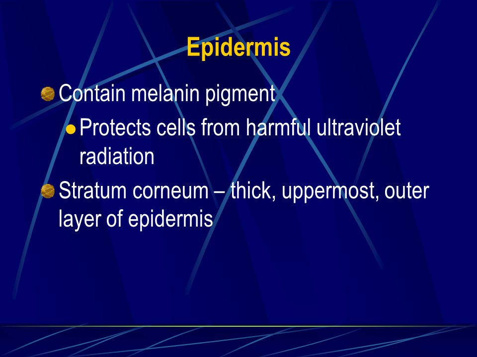 Epidermis Contain melanin pigment Protects cells from harmful ultraviolet radiation Stratum corneum – thick, uppermost, outer layer of epidermis