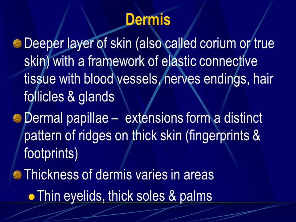 Dermis Deeper layer of skin (also called corium or true skin) with a framework of elastic connective tissue with blood vessels, nerves endings, hair follicles & glands Dermal papillae – extensions form a distinct pattern of ridges on thick skin (fingerprints & footprints) Thickness of dermis varies in areas Thin eyelids, thick soles & palms