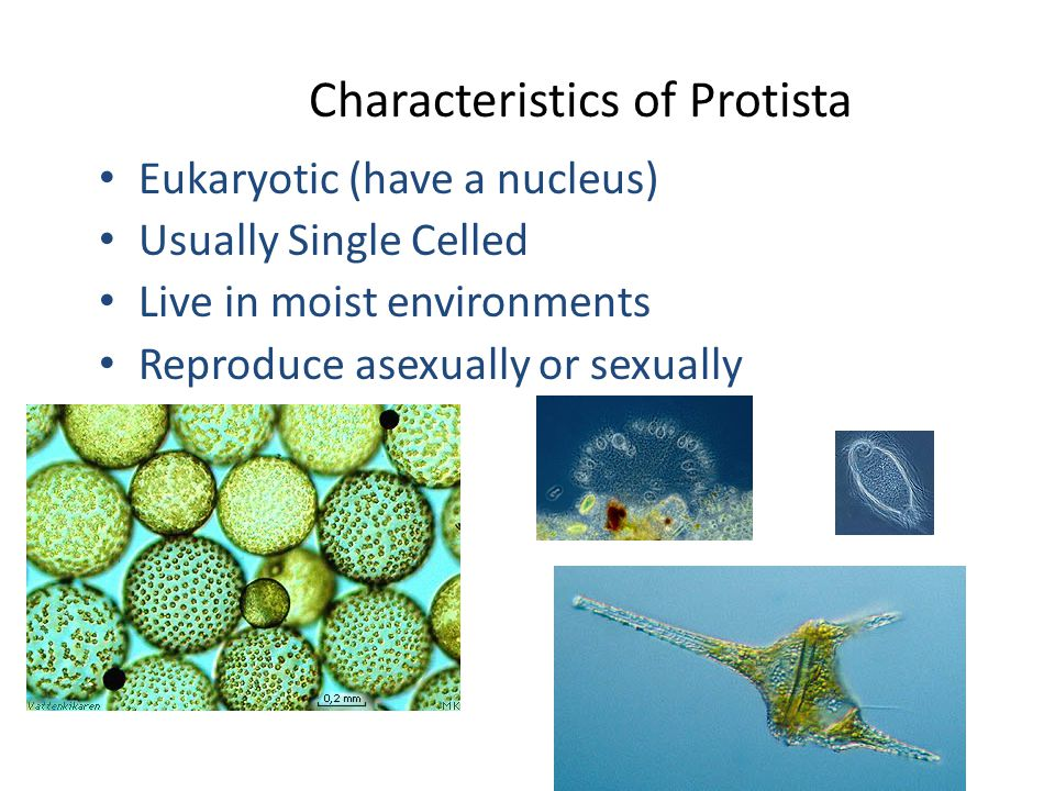 Characteristics of Protista Eukaryotic (have a nucleus) Usually Single Celled Live in moist environments Reproduce asexually or sexually