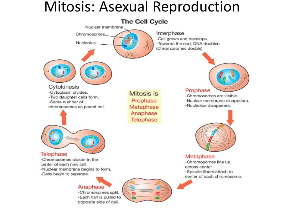 Mitosis: Asexual Reproduction