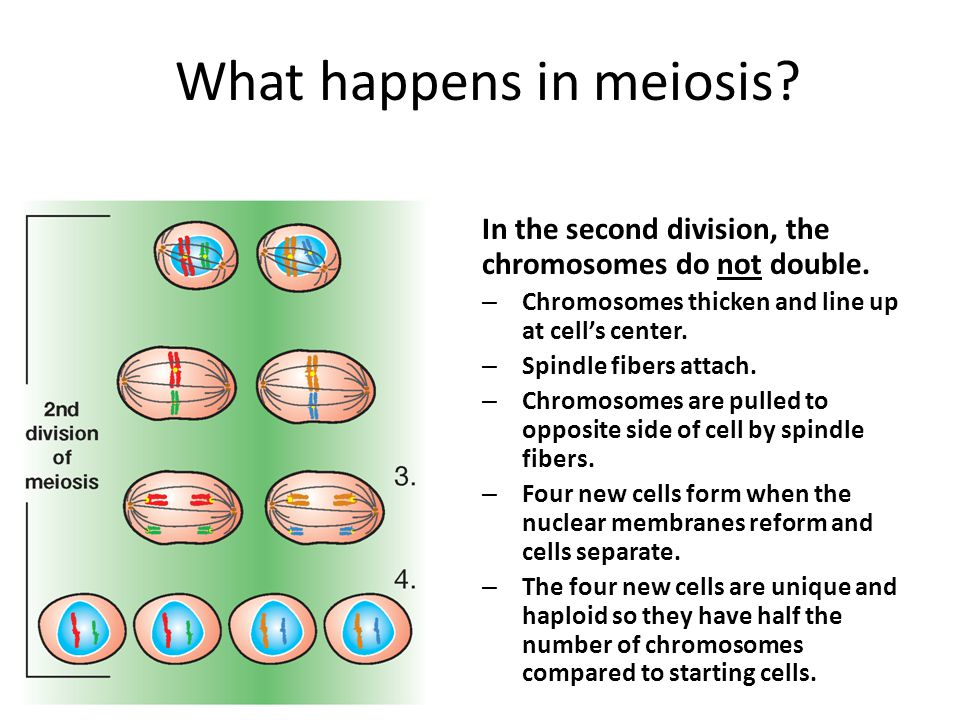What happens in meiosis. In the second division, the chromosomes do not double.