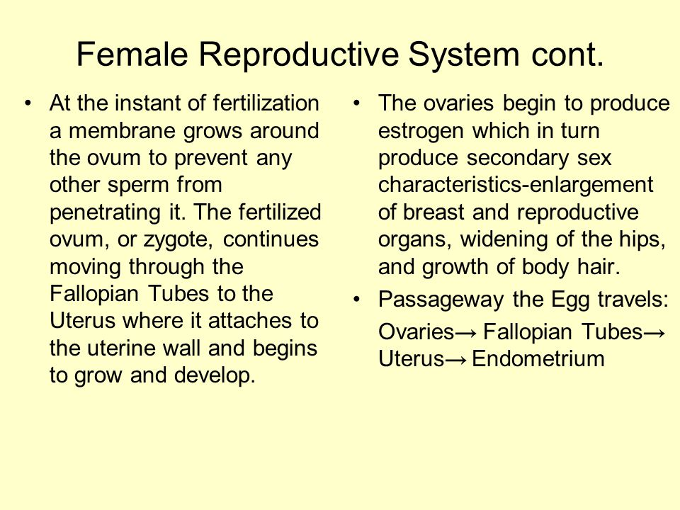 Female Reproductive System cont. At the instant of fertilization a membrane grows around the ovum to prevent any other sperm from penetrating it. The