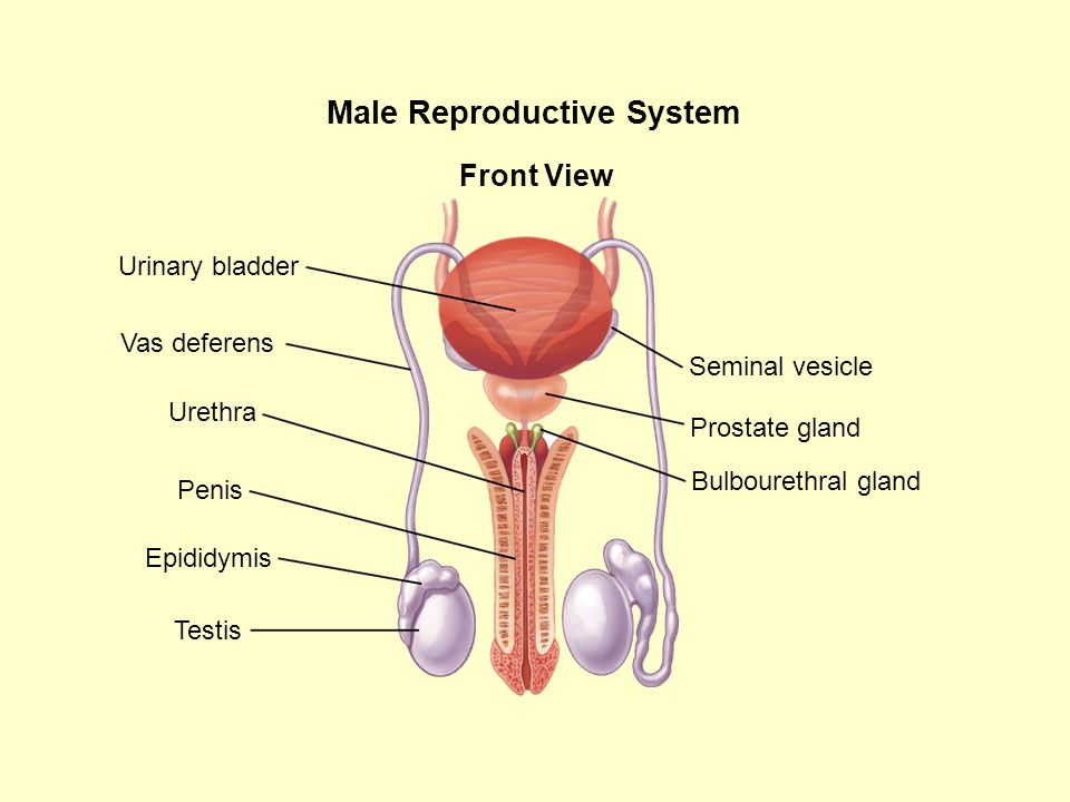 Male Reproductive System Seminal vesicle Prostate gland Bulbourethral gland Front View Urinary bladder Vas deferens Urethra Penis Epididymis Testis