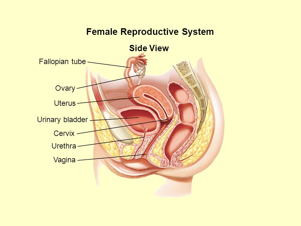 Female Reproductive System Side View Urinary bladder Cervix Fallopian tube Ovary Uterus Vagina Urethra