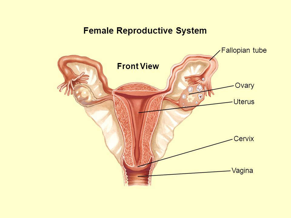 Female Reproductive System Front View Cervix Fallopian tube Ovary Uterus Vagina