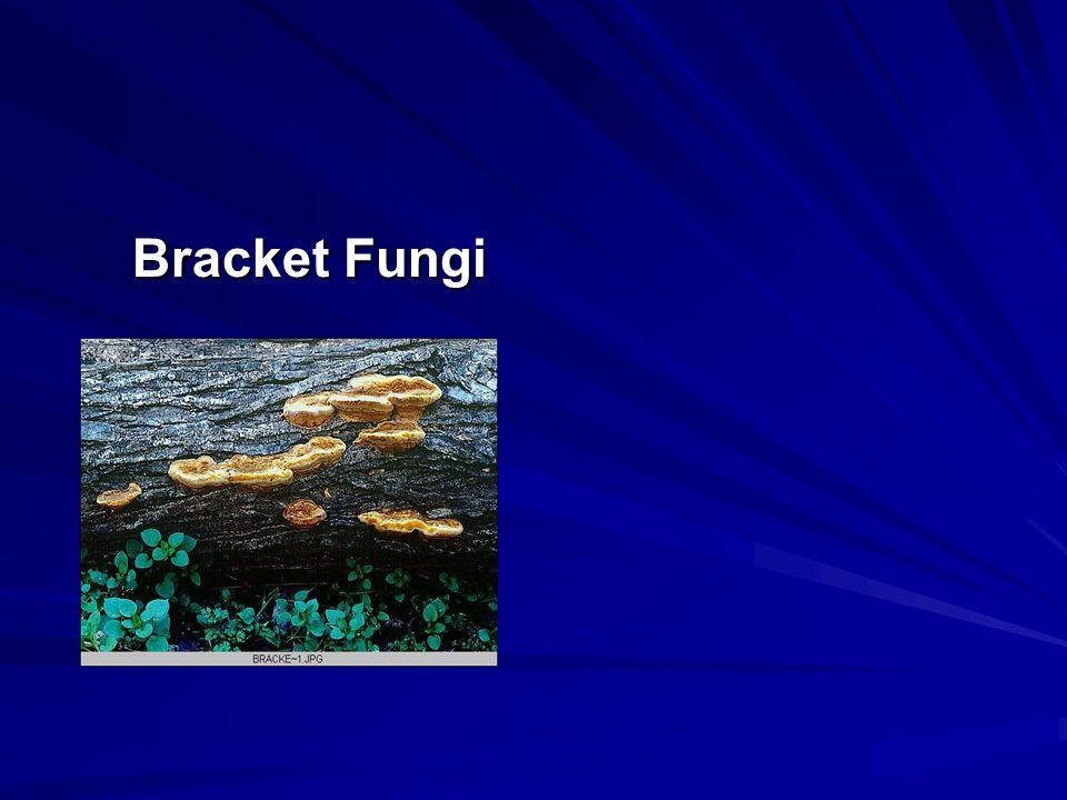 Bracket Fungi Bracket Fungi
