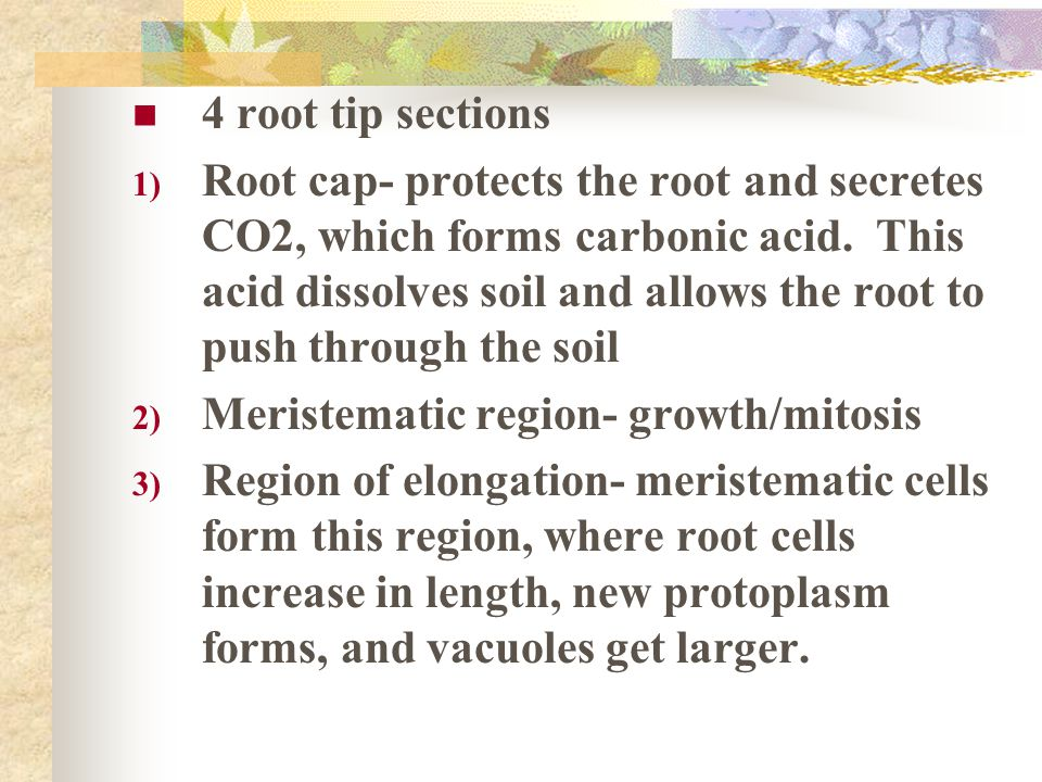 Roots Taproots- long, thick primary root with tiny roots hairs.