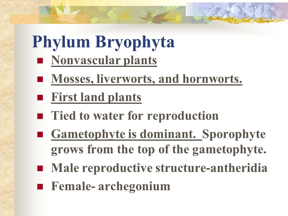 Gametophyte is the dominant generation  Single celled Chlorophyta are considered protists.