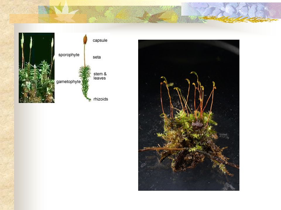 Phylum Bryophyta Nonvascular plants Mosses, liverworts, and hornworts.
