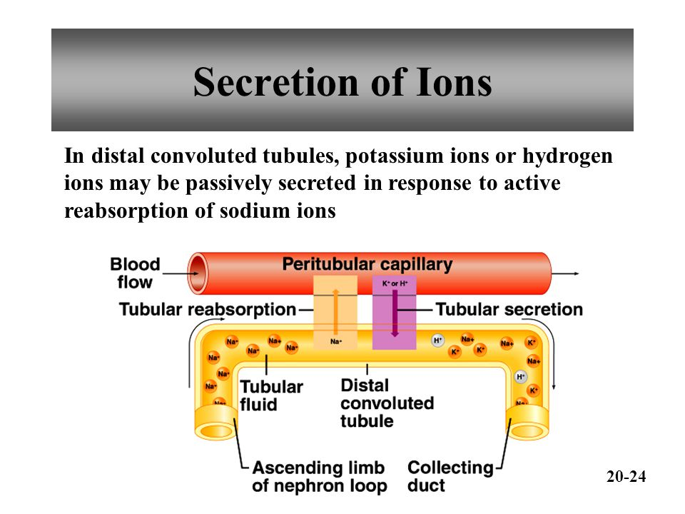 Secretion of Ions In distal convoluted tubules, potassium ions or hydrogen ions may be passively secreted in response to active reabsorption of sodium ions 20-24