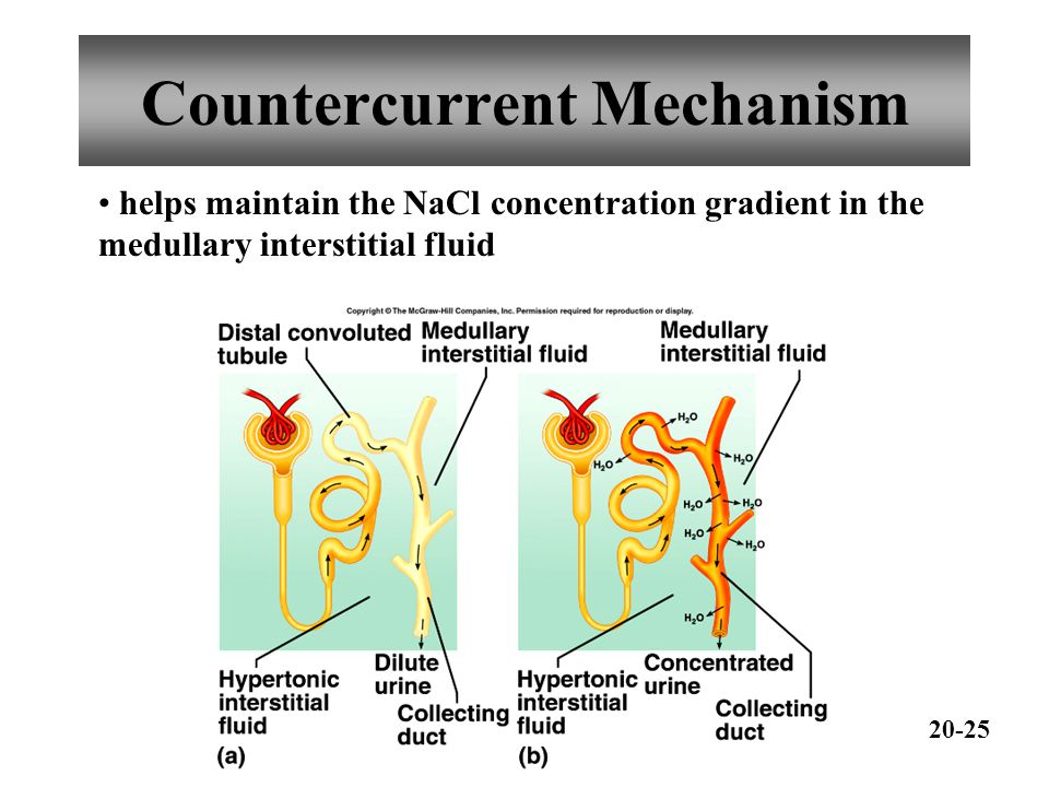 Countercurrent Mechanism helps maintain the NaCl concentration gradient in the medullary interstitial fluid 20-25
