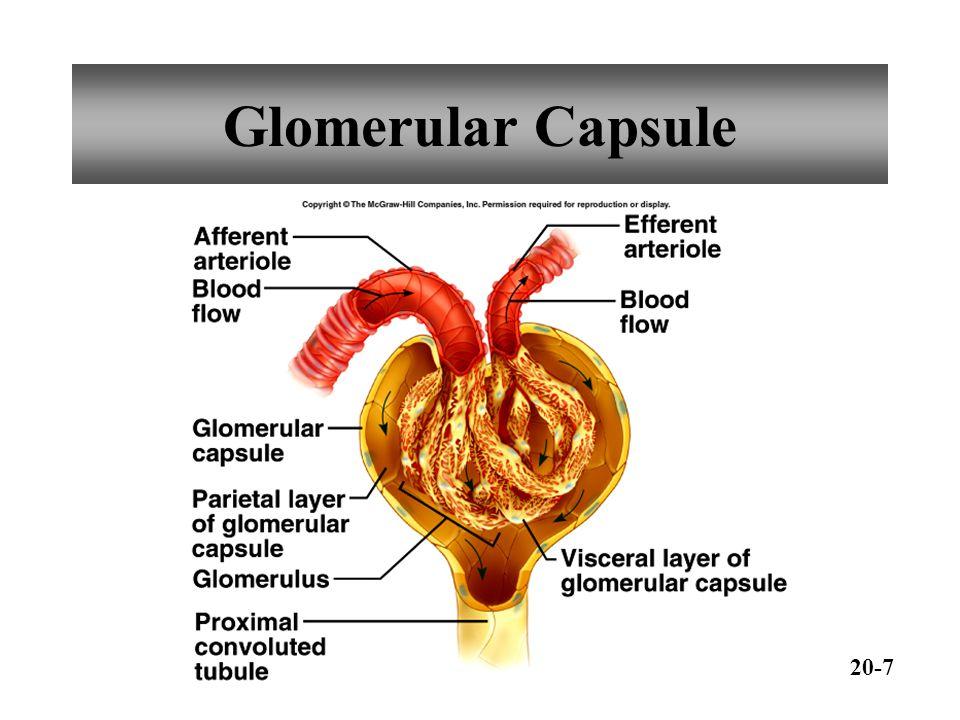 Glomerular Capsule 20-7