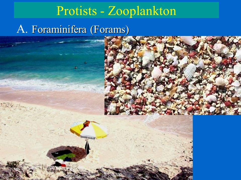 Protists - Zooplankton Foraminifera (Forams) A. Foraminifera (Forams)